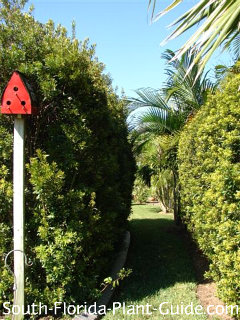 Closely clipped hedges with red birdhouse