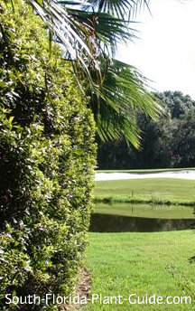 wax myrtle hedge by a golf course waterway