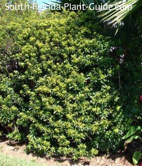 Large full shrub