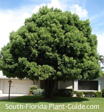 Large weeping podocarpus tree in a front yard