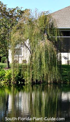 weeping willow tree by a pond