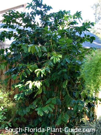 large wild coffee growing in dappled shade