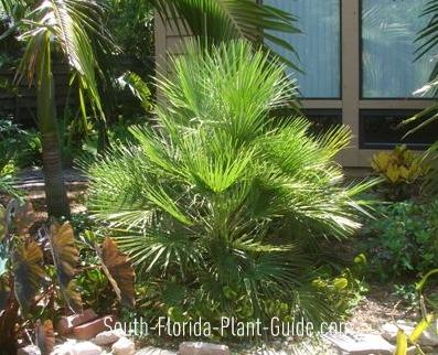 Young European fan palm in a garden bed