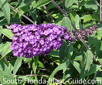 buddleia 'Butterfly Bush'