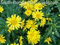 Bush daisy's yellow flowers