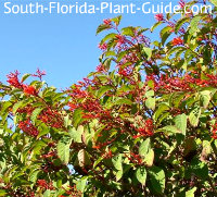 hollytree mature dating site Nellie r stevens holly is used as a specimen or in privacy screening this holly plant comes in tree and shrub  reaching 15 feet tall and 10 feet wide when mature.