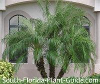 triple pygmy date palm