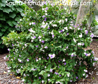 yesterday today and tomorrow shrub in full bloom