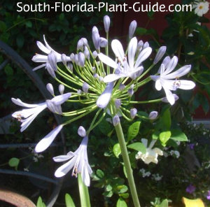 Agapanthus flower starting to open