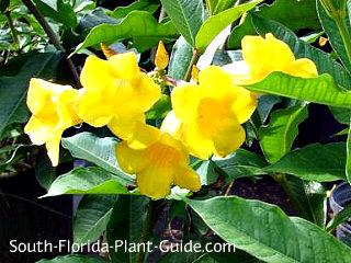 bush allamanda flowers