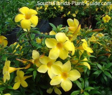 Dwarf allamanda flowers