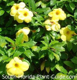 yellow allamanda vine flowers