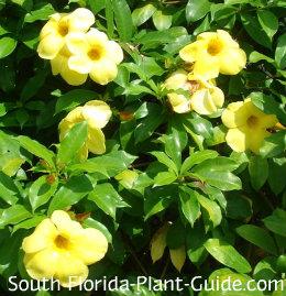 Yellow 'Brown Bud' flowers