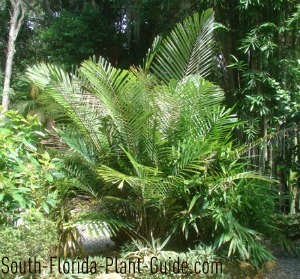 young arenga palm in sunny garden