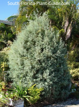 Silver-green foliage in a landscape setting
