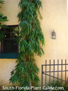 false ashoka tree leaves