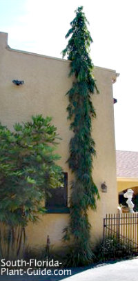 false ashoka tree next to a home