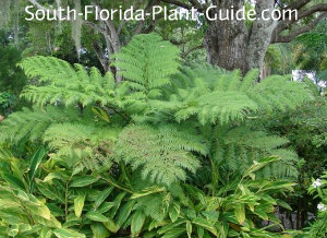 Australian tree fern underplanted with variegated ginger