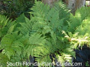young Australian tree ferns in pots