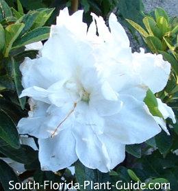 'Madonna White' flower