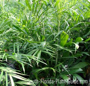 Bamboo palm leaves