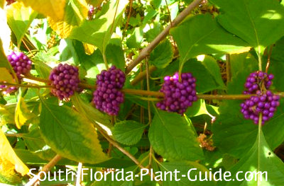 American beautyberry purple berries
