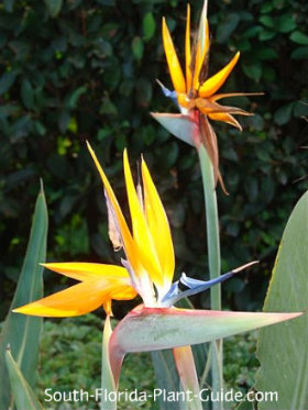 Orange bird of paradise flowers