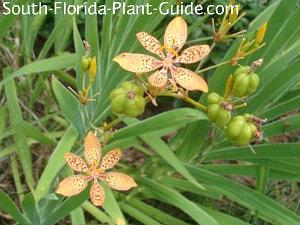 Blackberry iris pale orange flowers