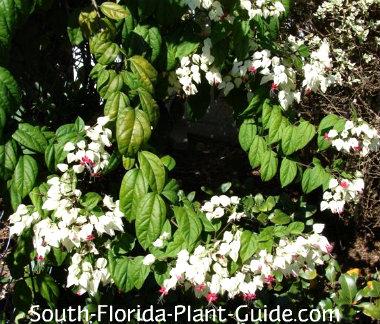 white flowers of bleeding heart vine