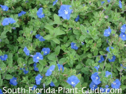 Flowering Perennials For South Florida