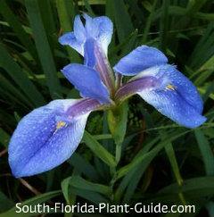 Blue Flag deep blue-violet flower