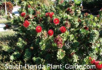 Mature shrub in bloom