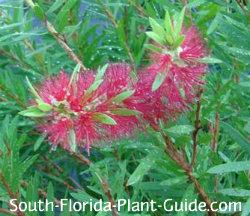 bottlebrush bush flower detail