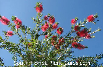 young weeping bottlebrush tree flowers