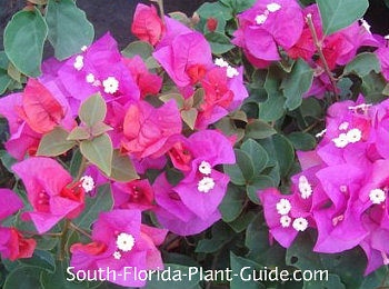 Helen Johnson dwarf bougainvillea flowers