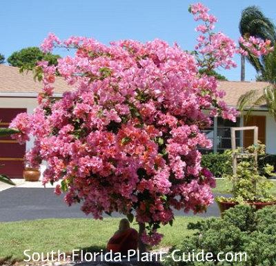 Bright pink bougainvillea tree