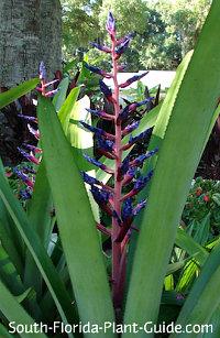 Tall blue-purple bloom
