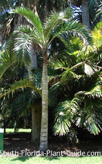 mature buccaneer palm