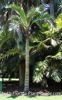 Mature palm