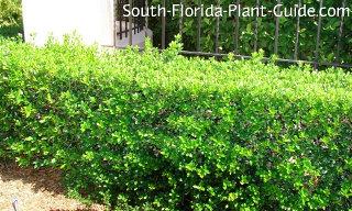 burfordii holly hedge