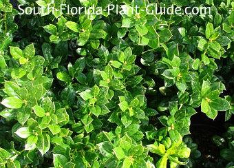 burfordii holly leaf detail