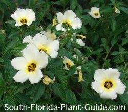 White buttercup (alder) flowers