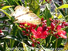 White Peacock butterfly drinking nectar from red jatropha flowers