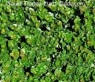 carissa boxwood leaf detail
