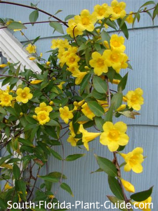 Yellow Carolina jasmine flowers