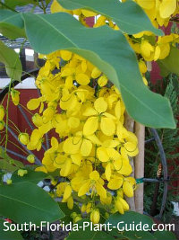 Fistula flower