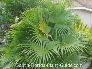 Young Chinese fan palm