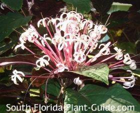 clerodendrum quadriloculare flower close-up