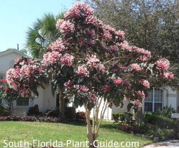 Clerodendrum quadriloculare in tree form full of blooms