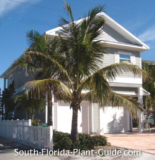 coconut palm at a beach house